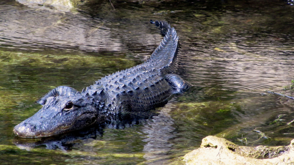 American Presidents John Quincy Adams and Herbert Hoover both owned pet alligators. (Photo by Flickr user Sue Slick under Wikipedia Commons license. April 18, 2014)