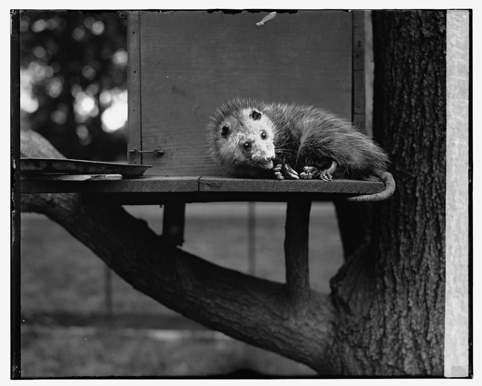 Opossum adopted by Herbert Hoover, May 6, 1929. (Library  of Congress)
