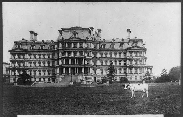 President William Taft's cow, Pauline Wayne, grazing on the lawn of the State, War, and Navy Building in 1909. (Library of Congress)