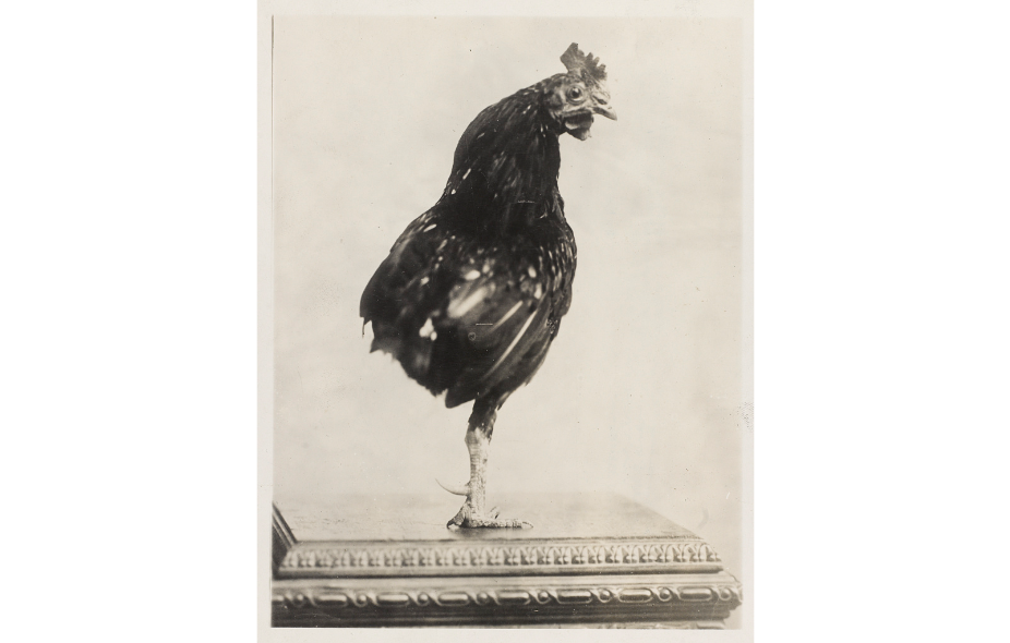 Teddy Roosevelt kept a one-legged rooster. (Library of Congress)
