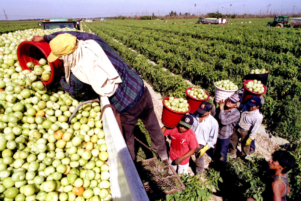 Migrant workers at Di'Mare farms in Florida City, Florida, load a truck with unripe tomatoes January 4 for shipment to a local packing plant. (Reuters)