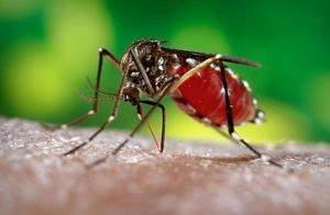 Dengue mosquito, Aedes aegypti. (Photo courtesy of Centers for Disease Control and Prevention)