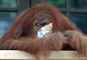 Pitri, orangutan berusia 7 tahun, sedang mengudap kacang di sebuah pusat rehabilitasi orangutan di Bukit Lawang (foto: AP).