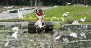 Seorang petani di Sleman, Yogyakarta, sedang membajak sawahnya (foto: AP).