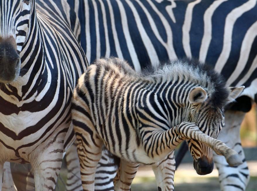 Germany Zebra