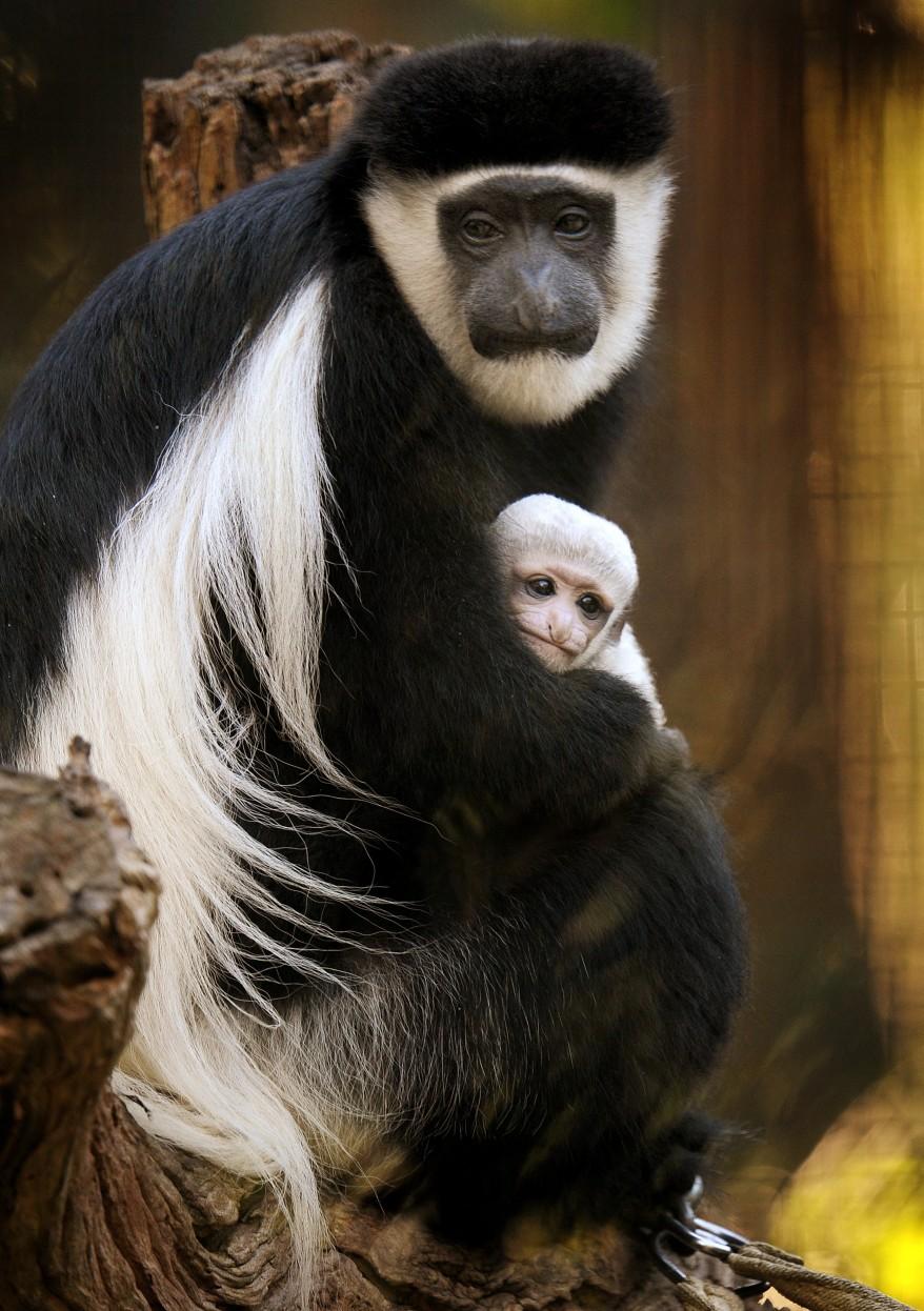 """Australia Colobus Monkey"""