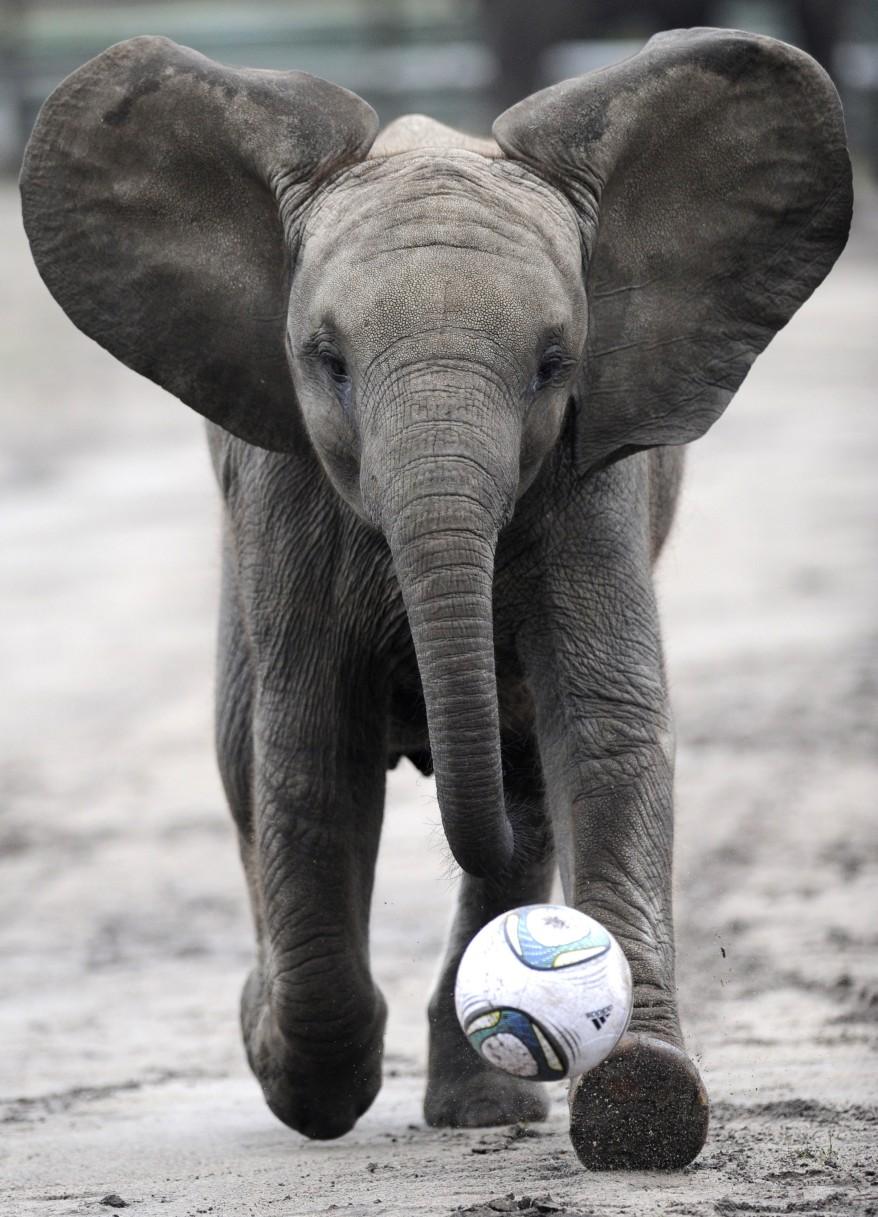 """Germany Elephant Football"""