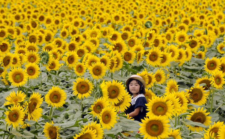 Japan Festival-Sunflowers