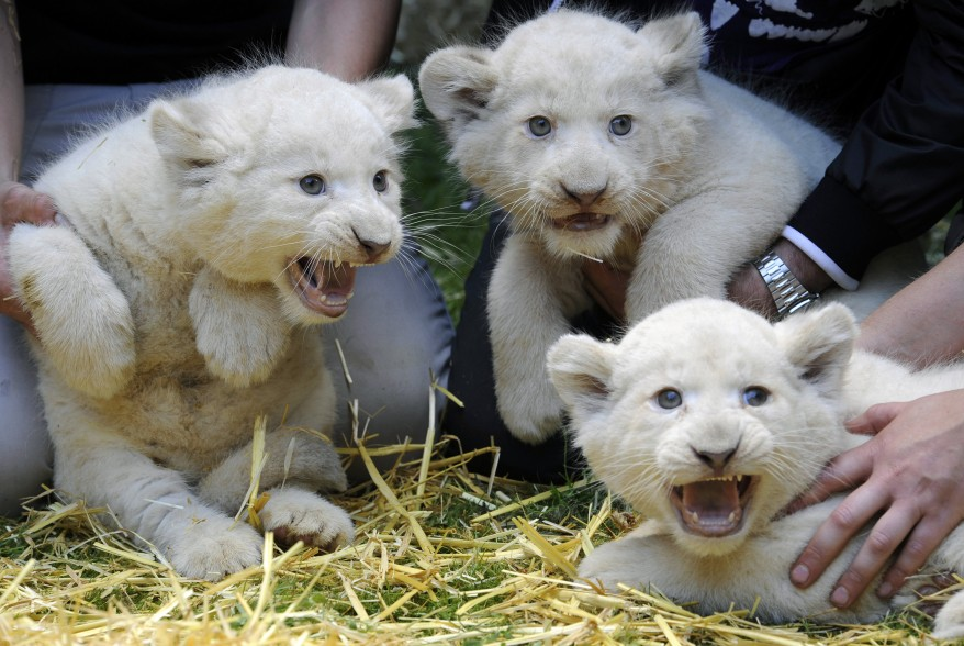 Germany-Lion Cubs