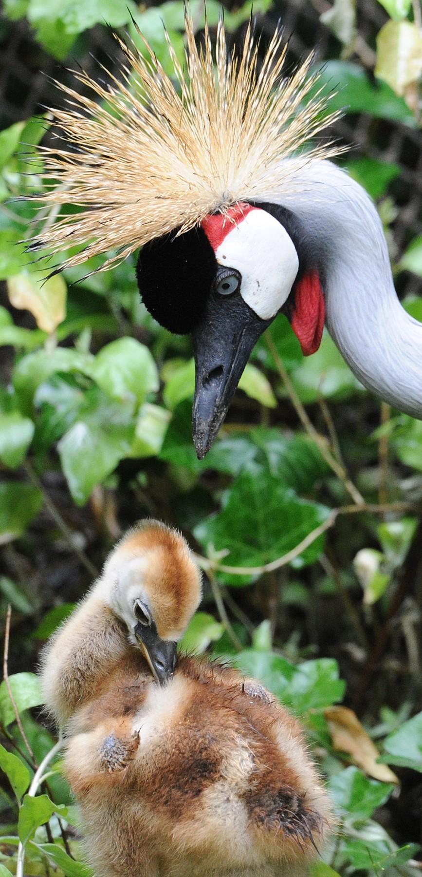 """Gray Crowned Crane"""