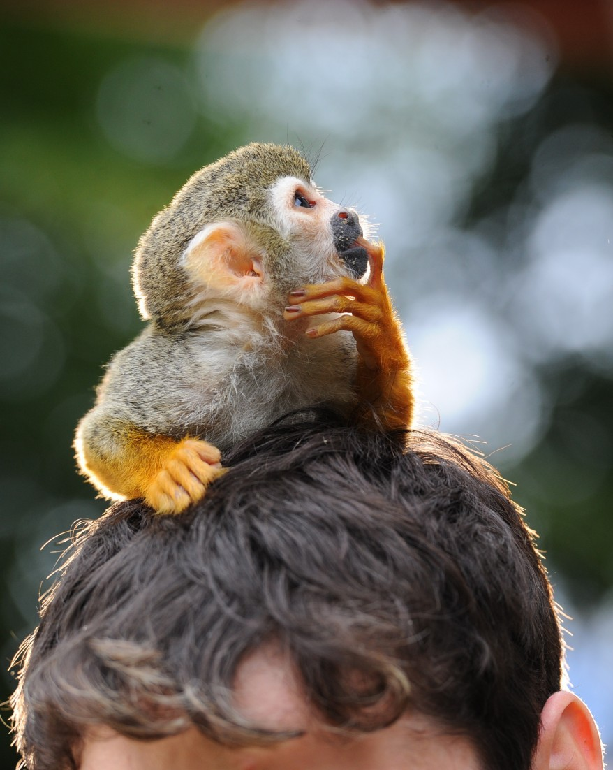 """Germany Squirrel Monkey"""