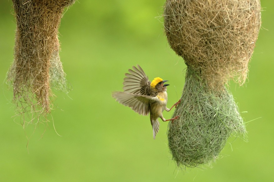 """Nepal Wildlife Weaver Bird"""
