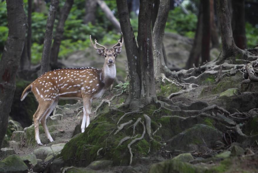 """""""Nepal Spotted Deer"""""""