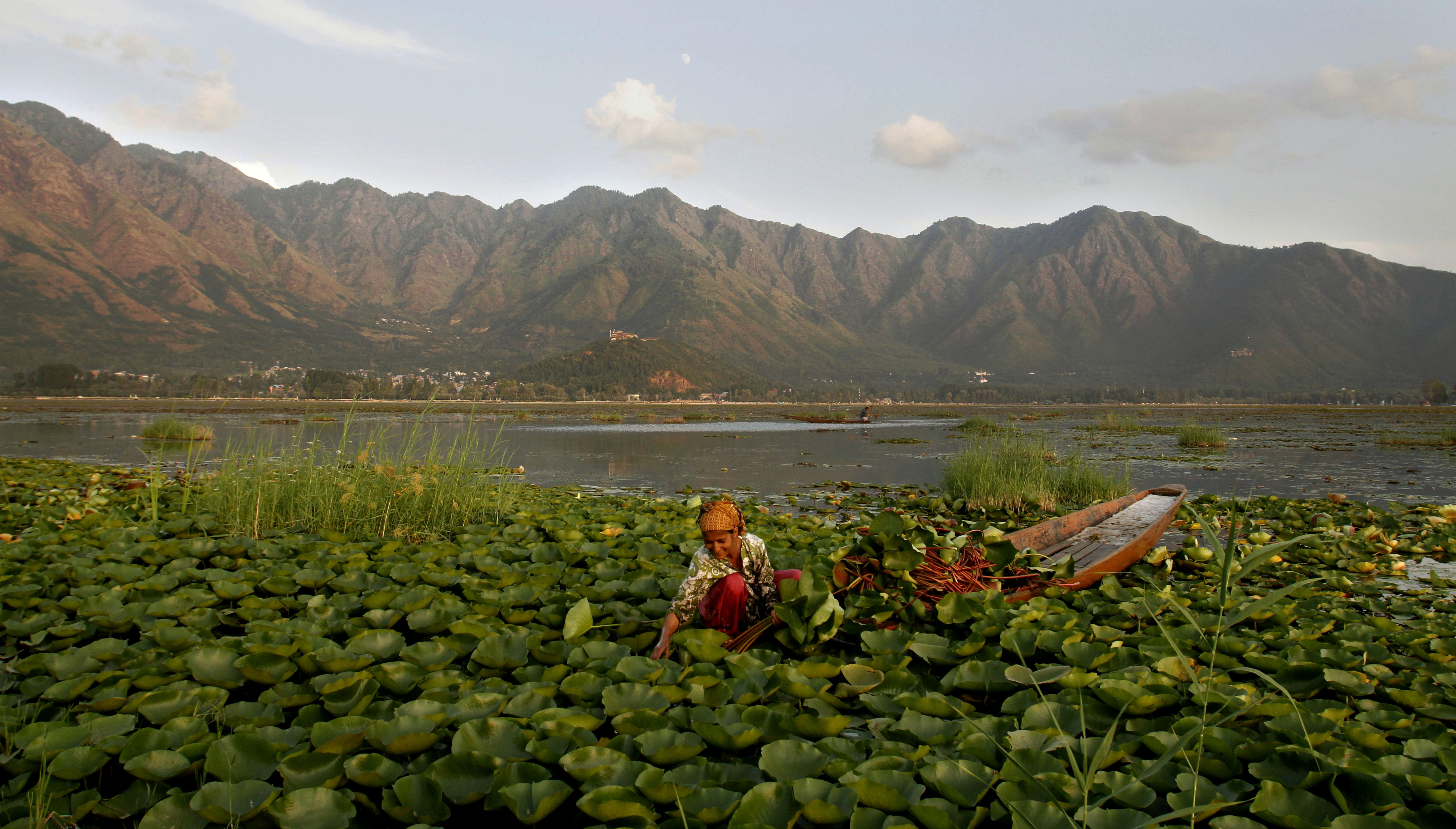A Kashmiri Woman Removes Lotus Leaves From The Water Of -6288