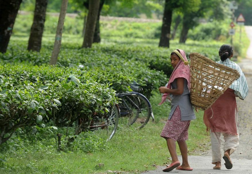 INDIA AGRICULTURE TEA