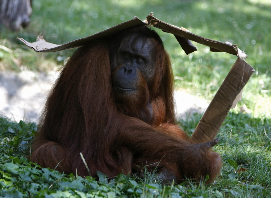 """Hungary Orangutan"""