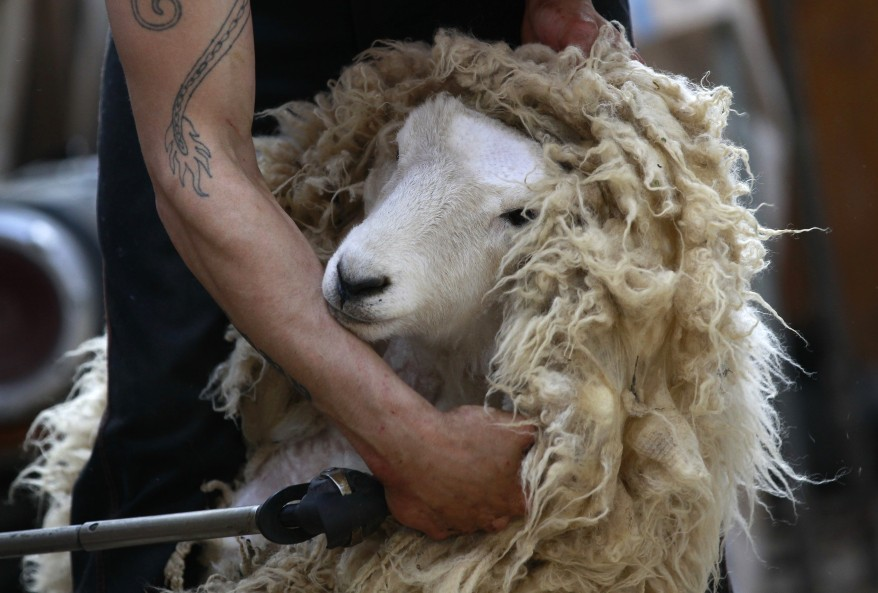 Sheep shearer Paul Lambert clips wool in a woodshed in Portobello near Dunedin, New Zealand. (Reuters)
