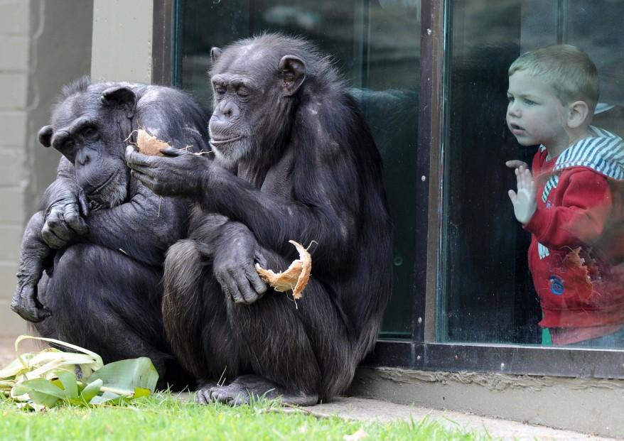 """Australia Chimpanzee"""