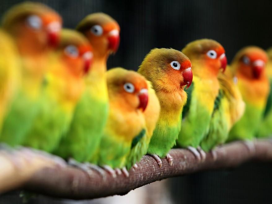 """""""Belgium Lovebirds"""""""