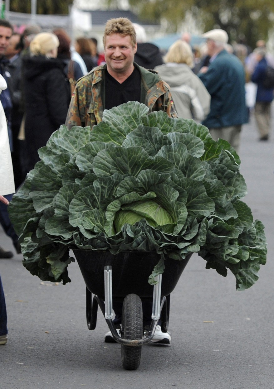"""Britain Giant Cabbage"""