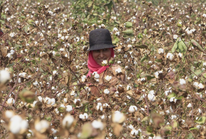 """Egypt Cotton Farm"""