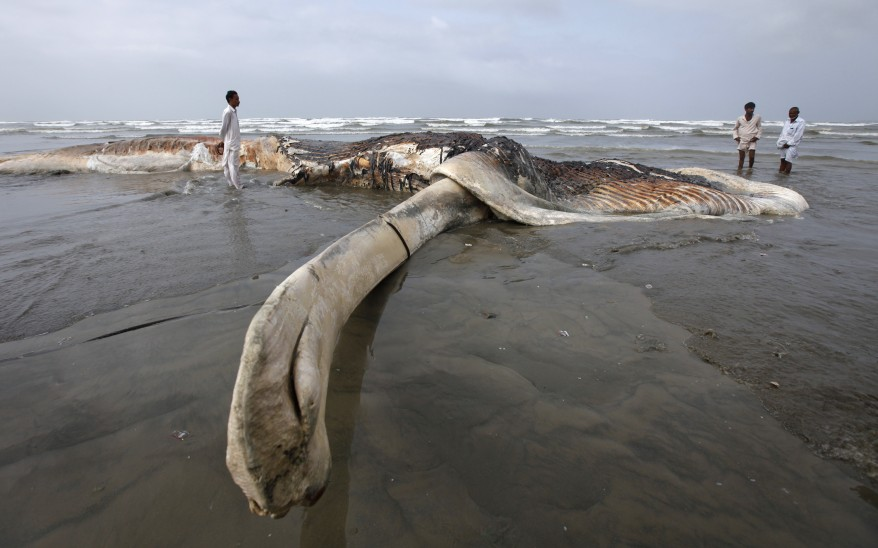 """Pakistan Whale Carcass"""