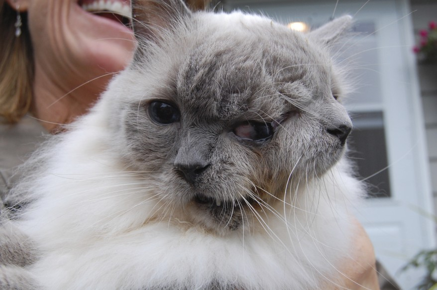 """Massachusetts Cat with Two Faces"""