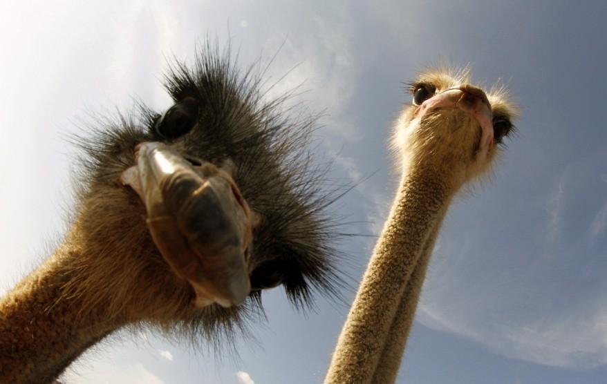 Spain_Ostrich