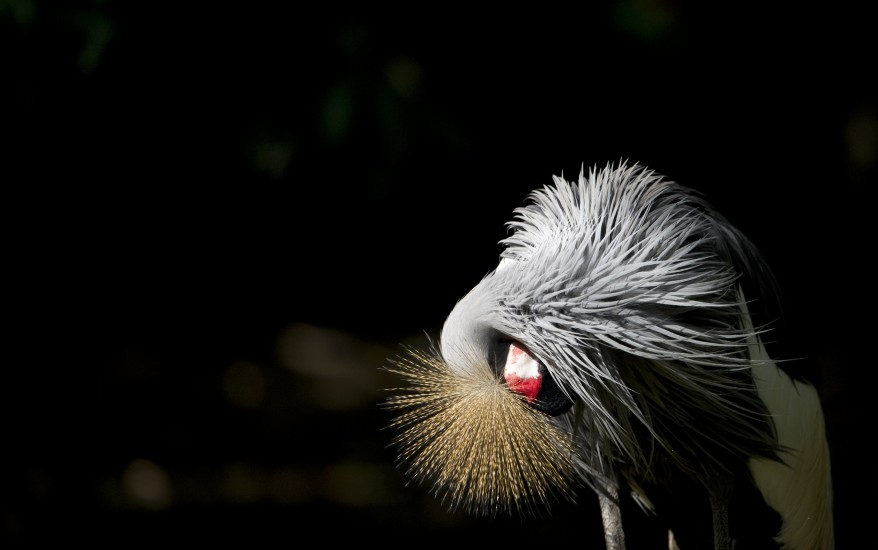 """Germany Grey Crowned Crane"""