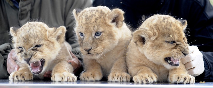 """Germany Lion Cubs"""