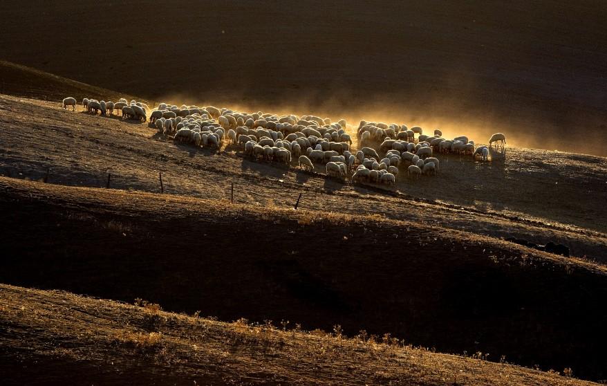 """""""Italy Sheep"""""""