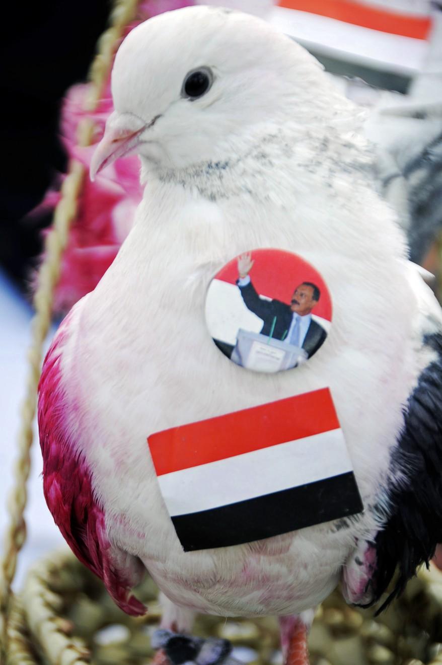 Yemen Dove