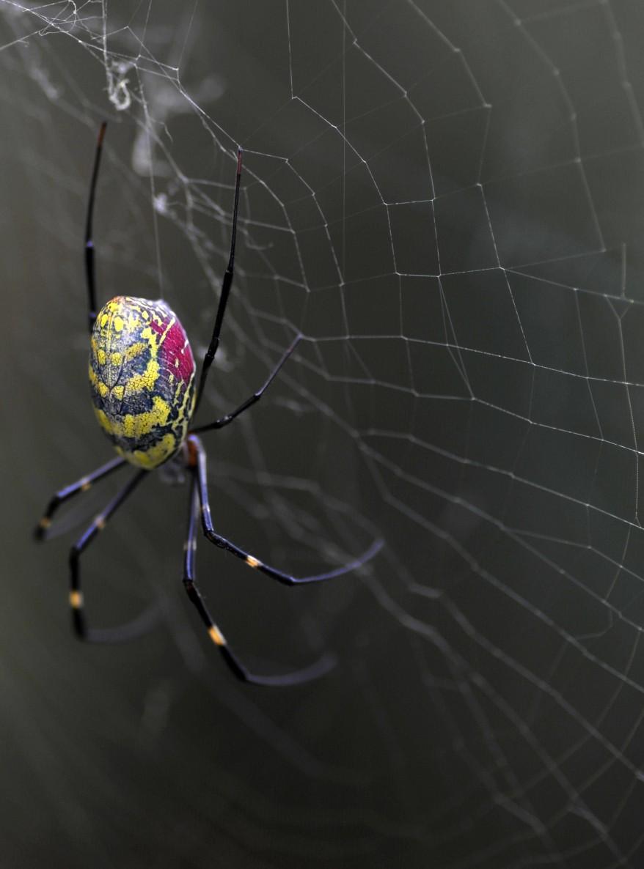"""""""Nepal Spider"""""""