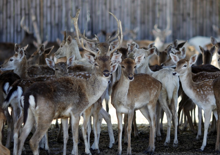 """Thailand Wildlife Park Deer"""