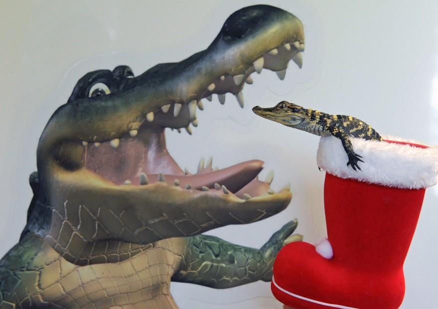 AUSTRALIA-Croc