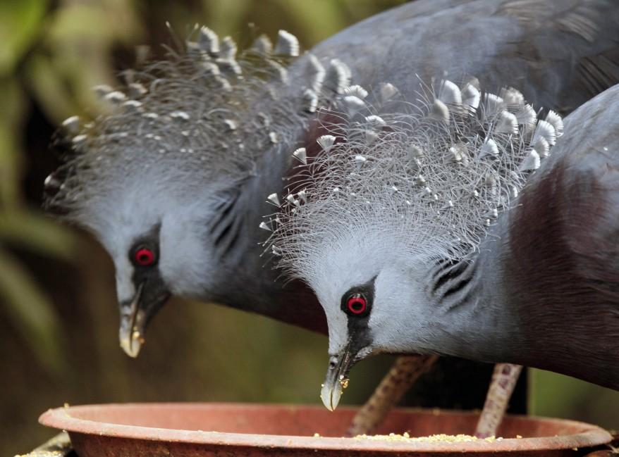 Malaysia-Pigeons