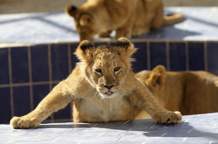 Lion Cub Jordan