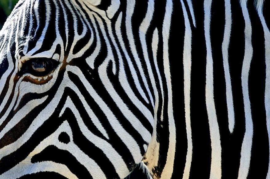 """Gravy's Zebra"""