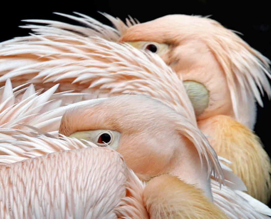 Germany Pelicans
