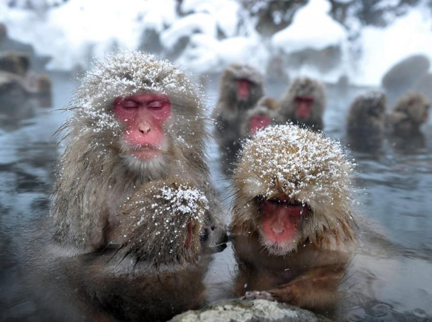 """Japan Wild Monkeys"""