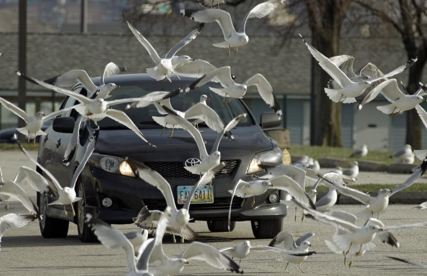 """""""Ohio Gulls"""""""