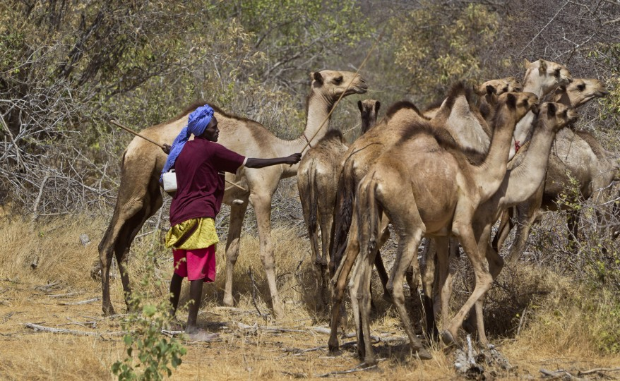 A Somali herder tends to his camels by the side of the road near the town of Dhobley, currently under control by Kenyan military and Somali government forces, in Somalia. Kenya's military has been fighting inside Somalia in an ongoing offensive against militant group al-Shabab since October.