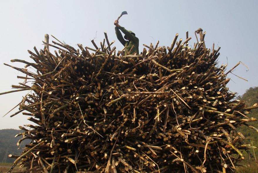 """Vietnam Sugarcane"""