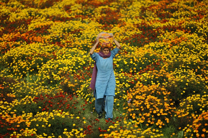 India Marigold Field