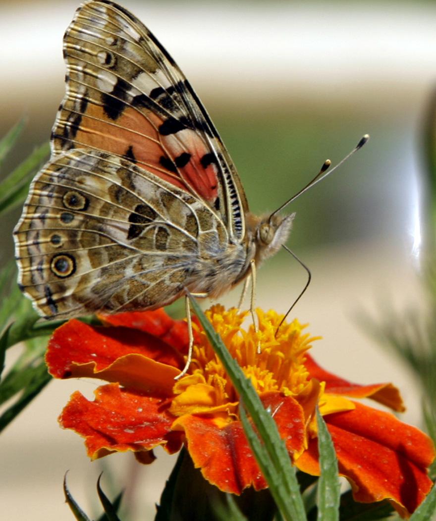 """""""Iraq Butterfly"""""""