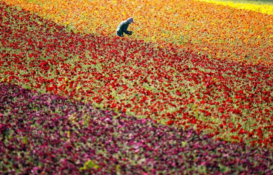 """Us Californa Flower Fields"""