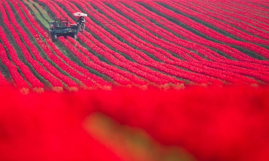 Germany Tulip Harvest