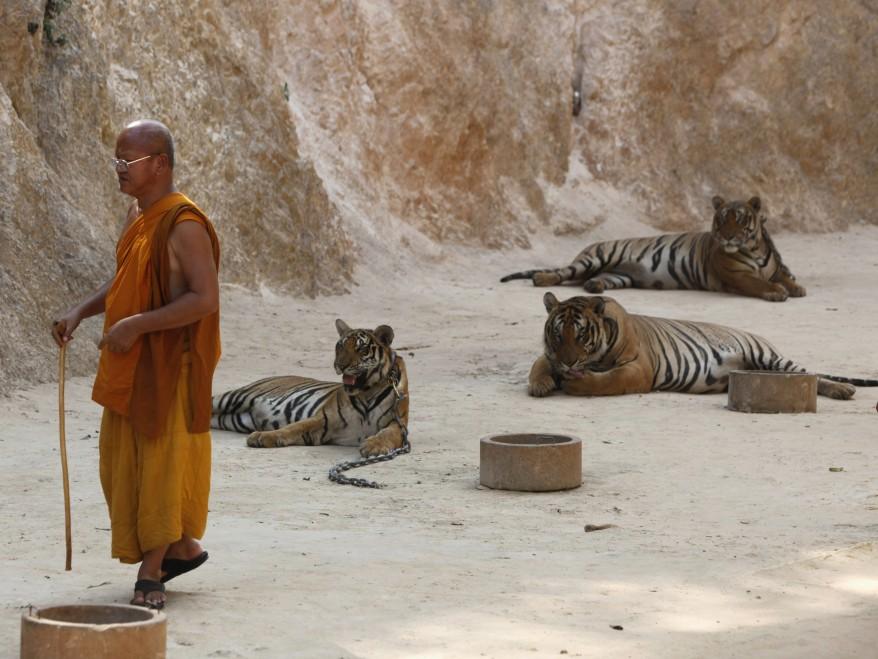 """Thailand Tigers"""