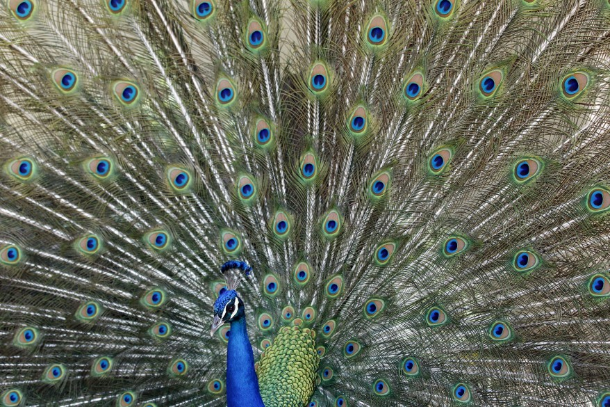 """""""California Peacock"""""""