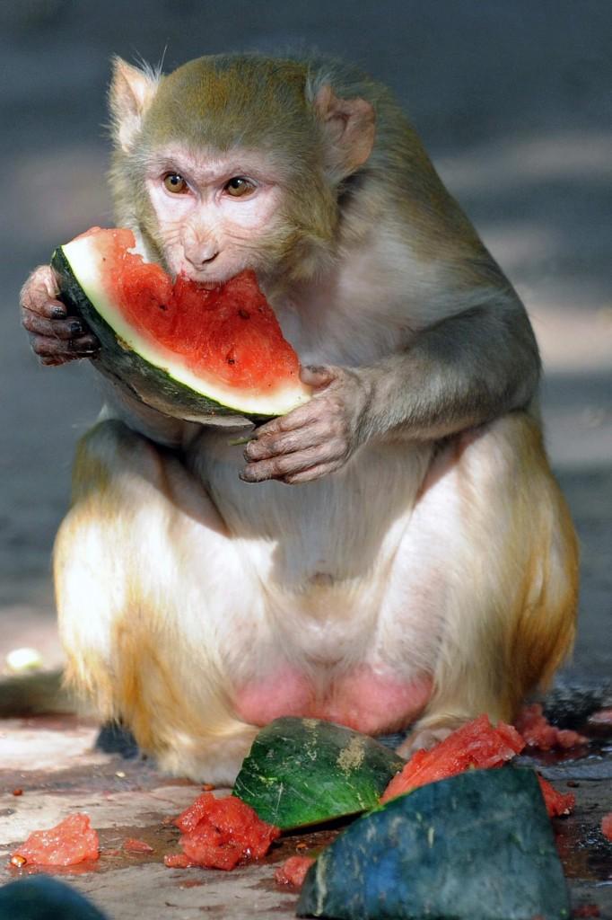 India Chimp
